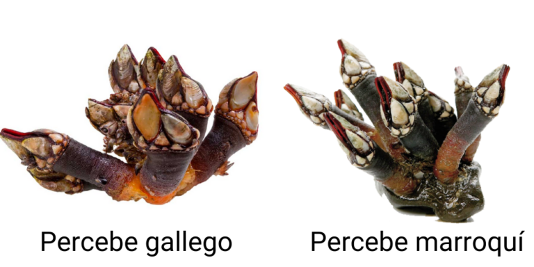Diferencias-Percebe-Gallego-y-Marroqui
